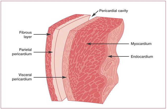 human medical physiology: cardiovascular physiology, Cephalic Vein