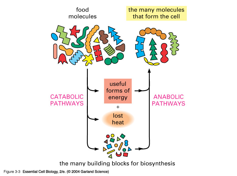 how are anabolic pathways regulated in bacteria